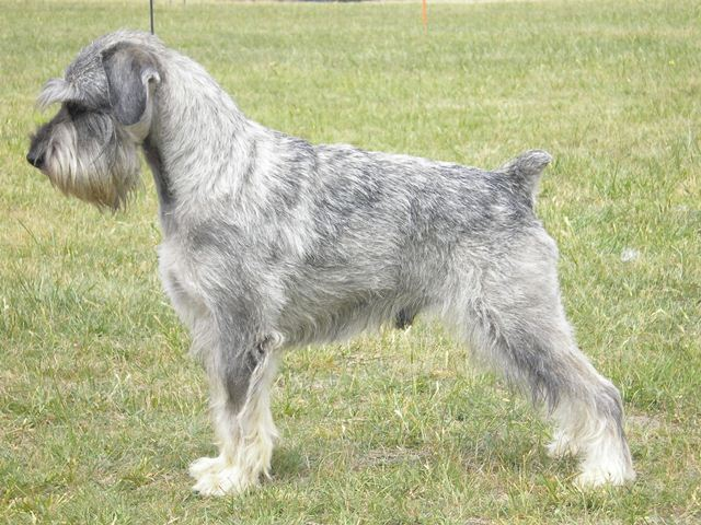 Victoria's First Bred Grand Champion Schnauzer Grand CH Raksha Yes Im Lucas CD ET