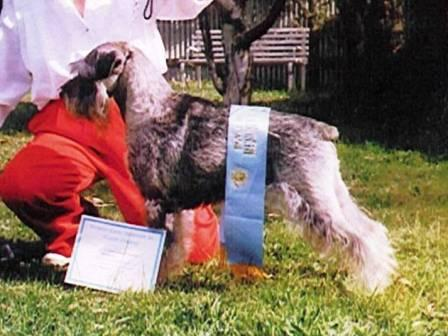 Australia's First Grand Champion Schnauzer Grand CH. Treuliebe Gerhard CD (Boris)  (deceased 8 August 2007)
